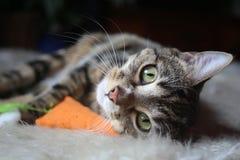 My Cat Sox. Sitting on the carpet Stock Photos