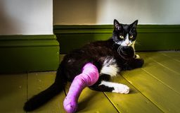 Black and white cat with a broken leg. This is my cat who was hit by a car and has a broken leg in a plaster cast Stock Photo