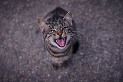 I want something to eat. my cat is hungry and a little bit cute. My cat yelling for her food Royalty Free Stock Image