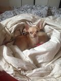 My 2 chihuahuas. Dont want to wake up Royalty Free Stock Photos