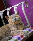 10th anniversary for birth of pedigree british shorthair cat