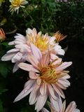 My click. Gd flower pic royalty free stock image