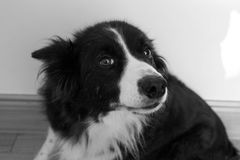 Midget the Collie. My Collie, Midget posing for the camera. Photot taken in black and white Stock Photo