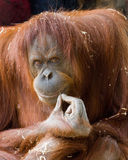 My compliments to the Chef. This orangutan really looks like she just enjoyed a wonderful meal Royalty Free Stock Image