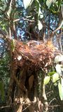 My construction is ecofriendly. A forest spiders nest made using dry leaves Stock Image