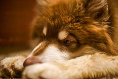 Sleep copper brown Alaskan Malamute Puupy. My Copper Color Giant Alaskan Malamute lying on the floor and very sleepy Royalty Free Stock Photo