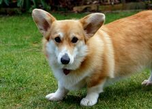 My Corgi Gracie. Stock Photography