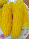 My corn. Corn yellow food delicious Gardner Royalty Free Stock Photo