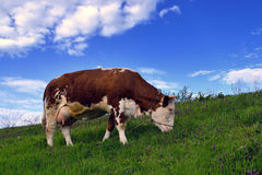 My cow. Colorful cows grazing in the village of Ivanovo in Pancevo. Picture taken on 14.04.2013 Royalty Free Stock Image