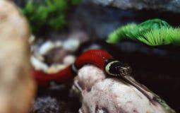 Sinaloan Milk Snake exploring his new territory. stock images