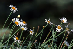 My daisies. Daisies on dark background Royalty Free Stock Images
