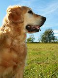 My darling dog - golden retrie Stock Images
