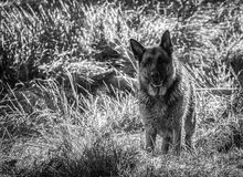 My dear friend Odin. A spectacular German shepherd dog, enjoying the beach in winter, with bath in the sea included Royalty Free Stock Images