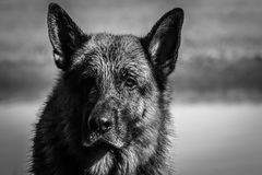 My dear friend Odin. A spectacular German shepherd dog, enjoying the beach in winter, with bath in the sea included Royalty Free Stock Photography