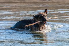My dear friend Odin. A spectacular German shepherd dog, enjoying the beach in winter, with bath in the sea included Stock Images