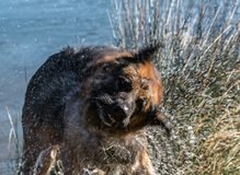 My dear friend Odin. A spectacular German shepherd dog, enjoying the beach in winter, with bath in the sea included Stock Photo