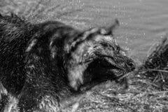 My dear friend Odin. A spectacular German shepherd dog, enjoying the beach in winter, with bath in the sea included Stock Photos