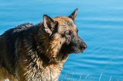 My dear friend Odin. A spectacular German shepherd dog, enjoying the beach in winter, with bath in the sea included Stock Image