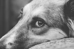 My dog ​​and his beautiful look. Siting on a bed royalty free stock images
