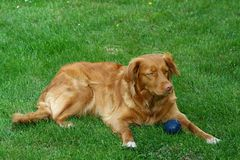 "My dog. "" Nova Scotia Duck Tolling retriever Royalty Free Stock Photography"