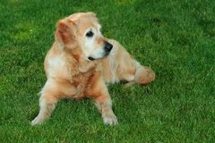 "My dog. "" Golden retriever "" on garden Stock Photography"