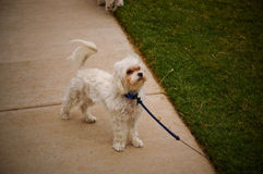 My dog. This is my dog bam bam. he is a maltese and we were taking him on a walk.  He has so much personality Royalty Free Stock Photos