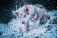 Dog is an Alaskan malamute. My dog is an Alaskan malamute. n royalty free stock photo