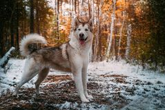 Dog is an Alaskan malamute stock image