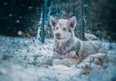 Dog is an Alaskan malamute royalty free stock photos