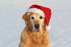 "My dog   - "" Golden retriever "" Stock Image"