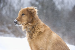 My dog loves the snow Stock Images