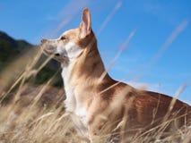 My dog Mango Royalty Free Stock Photo