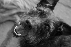 A Happy Max. My dog Max a black wire haired terrier X Photo taken in black and white Royalty Free Stock Photography