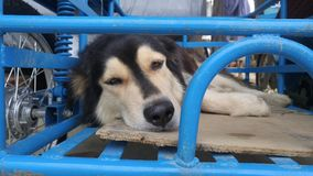 My dog nap on the Motorcycle trailer royalty free stock photography