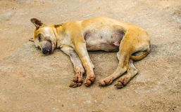 My dog is orange-brown. Is sleeping happily stock images