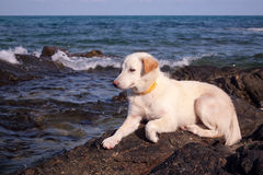 My dog is on the rocks and the beach Royalty Free Stock Images