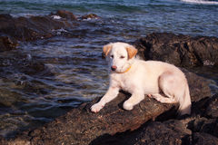 My dog is on the rocks and the beach Royalty Free Stock Photo