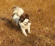 My dog. Runs on dry grass. The wind develops his ears. Autumn in the field Stock Image