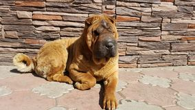 My dog, shar pey Royalty Free Stock Photo