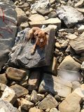 My dog in a stone beach stock photography
