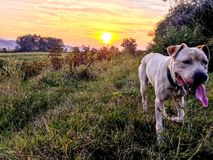 My dog. Sunset running grass tired Stock Photo
