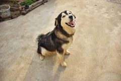 My dog want to play with me. Loei,Thailand Royalty Free Stock Photography