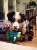 My dog Woodo. Australian Shepherd, my dog Woodo Royalty Free Stock Images