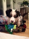 My dog Woodo Royalty Free Stock Images