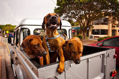 3 dogs in a ute Royalty Free Stock Image