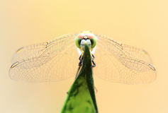 My Eyes. A dragonfly is an insect belonging to the order Odonata, infraorder Anisoptera from Greek ἄνισος anisos `uneven` and royalty free stock photos