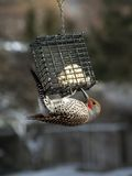 My Favorite Flicker. This image of the male flicker at the suet feeder was taken in my backyard Royalty Free Stock Image