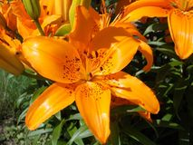 My favorite Orange Flowers. Beauty of June Stock Photography