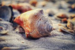 My First Conch Shell. First time I had found a conch shell at the beach Royalty Free Stock Images