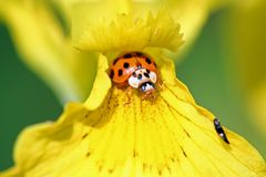 This is my flower. A ladybug on a iris Royalty Free Stock Photo